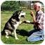 Photo 3 - Alaskan Malamute Dog for adoption in Cranford, New Jersey - Farrah