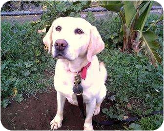 Labrador Retriever Dog for adoption in Valley Center, California - Kammi