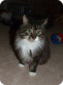 Maine Coon Cat for adoption in Stafford, Virginia - Bailey - New Photos!