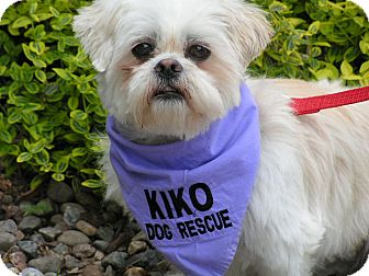 Shih Tzu/Lhasa Apso Mix Dog for adoption in Rigaud, Quebec - Sunny Jim