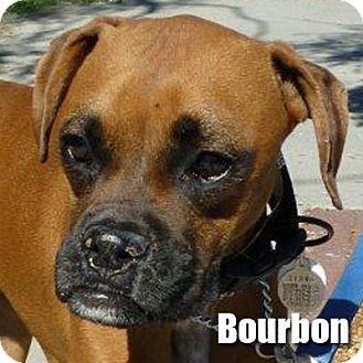 Boxer Dog for adoption in Encino, California - Bourbon
