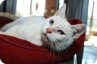 Siamese Cat for adoption in Coronado, California - Moscato