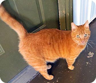 Domestic Shorthair Cat for adoption in Marseilles, Illinois - Tiggy