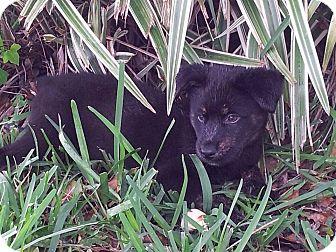 German Shepherd Dog/Husky Mix Puppy for adoption in Miami, Florida - Maya