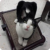 Adopt A Pet :: Adelade - West Dundee, IL