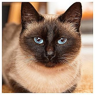 Siamese Cat for adoption in Olmsted Falls, Ohio - Gatsby