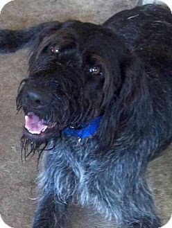 German Wirehaired Pointer/German Shorthaired Pointer Mix Dog for adoption in New Smyrna beach, Florida - FORREST GUMP