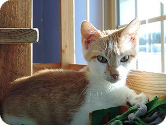 Domestic Shorthair Kitten for adoption in Brookings, South Dakota - Ms White