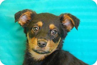 German Shepherd Dog Mix Puppy for adoption in Philadelphia, Pennsylvania - Cara
