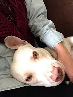 Labrador Retriever/Pit Bull Terrier Mix Dog for adoption in Sun Valley, California - NALA