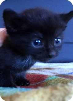Domestic Shorthair Kitten for adoption in Dumfries, Virginia - Luna