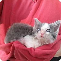 Adopt A Pet :: Sheldon the Climber - Columbus, OH