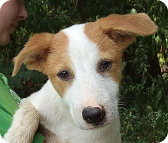 Brittany Mix Dog for adoption in Chicago, Illinois - Clyde
