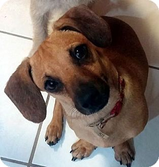 Dachshund Mix Dog for adoption in Mary Esther, Florida - Crook