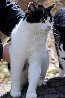 Domestic Mediumhair Cat for adoption in Salem, West Virginia - Amelia