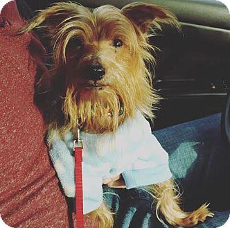 Yorkie, Yorkshire Terrier Dog for adoption in Philadelphia, Pennsylvania - MOOCHIE!