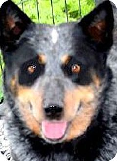 Blue Heeler Dog for adoption in Winchester, Kentucky - TESS(LOST HER FAMILY--PLS READ
