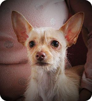 Chihuahua Mix Dog for adoption in Lisbon, Iowa - Lily