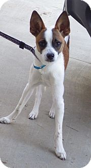 Rat Terrier Mix Dog for adoption in Quail Valley, California - Stretch