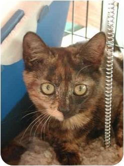 Domestic Shorthair Kitten for adoption in Fort Lauderdale, Florida - Josephine