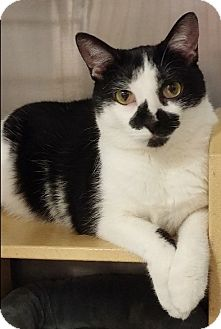 Domestic Shorthair Cat for adoption in Hillside, Illinois - Bandit-FREEDOM, JUST $65!!