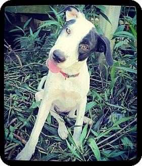 Labrador Retriever Mix Puppy for adoption in Grand Bay, Alabama - Avril
