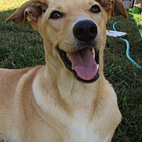 Retriever (Unknown Type)/Basenji Mix Dog for adoption in Melbourne, Arkansas - Bell