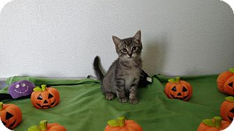 Domestic Shorthair Kitten for adoption in China, Michigan - Aspen