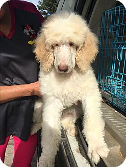 Standard Poodle Puppy for adoption in Weatherford, Texas - *HAYDEN*