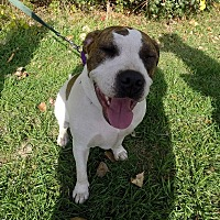 American Bulldog/Terrier (Unknown Type, Medium) Mix Dog for adoption in Detroit, Michigan - Hope-Meet me!