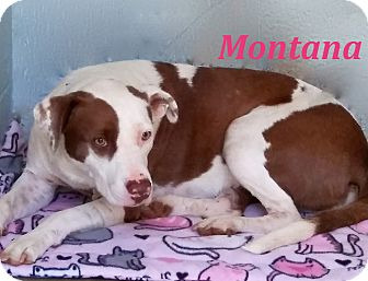 Labrador Retriever/Pit Bull Terrier Mix Dog for adoption in El Cajon, California - Montana