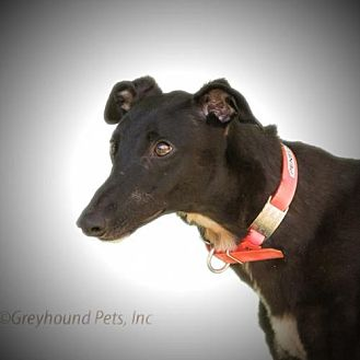 Greyhound Dog for adoption in Woodinville, Washington - Penelope