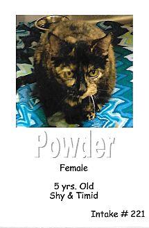 Domestic Shorthair Cat for adoption in Fort Scott, Kansas - Powder