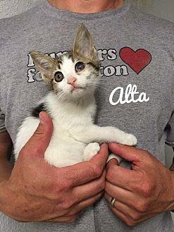 Domestic Shorthair Kitten for adoption in Kendallville, Indiana - Alta