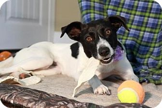 Border Collie/Jack Russell Terrier Mix Dog for adoption in Hartselle, Alabama - Daisy