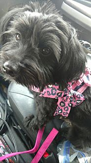 Terrier (Unknown Type, Small)/Maltese Mix Puppy for adoption in Fort Collins, Colorado - Addy