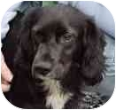 Cocker Spaniel Mix Dog for adoption in Bernardsville, New Jersey - Boo Boo