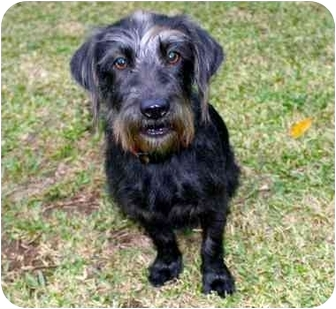 Terrier (Unknown Type, Small)/Dachshund Mix Dog for adoption in Van Nuys, California - Darcy