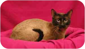 Siamese Cat for adoption in Sacramento, California - Sam