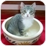 Photo 2 - Egyptian Mau Kitten for adoption in Taylor Mill, Kentucky - Jonas-Doglike