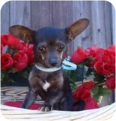 Chihuahua Mix Dog for adoption in Encino, California - Lenny