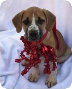 Beagle/Labrador Retriever Mix Puppy for adoption in South Plainfield, New Jersey - Lady