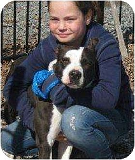 American Staffordshire Terrier Mix Dog for adoption in Middletown, New York - Angel