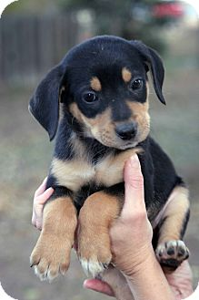 Retriever (Unknown Type)/Shepherd (Unknown Type) Mix Puppy for adoption in Westminster, Colorado - Coburn