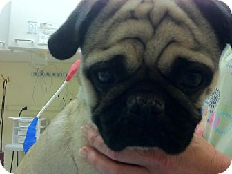 Pug Dog for adoption in Poway, California - Max