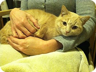 Domestic Shorthair Cat for adoption in Chicago, Illinois - Hampton