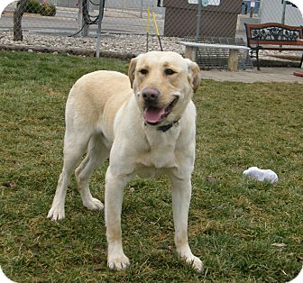Labrador Retriever Mix Dog for adoption in Meridian, Idaho - Blitzen
