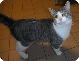 Domestic Shorthair Cat for adoption in Jackson, Michigan - Greystone