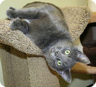 Domestic Shorthair Cat for adoption in Edmonton, Alberta - Memphis