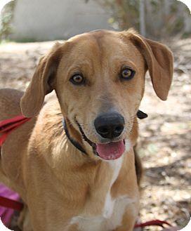 Labrador Retriever Mix Dog for adoption in North Hills, California - Buddy